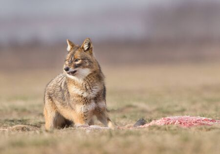canis: Portrait of Golden Jacal (canis aureus) eating prey on the meadow. Region of south eastern Europe