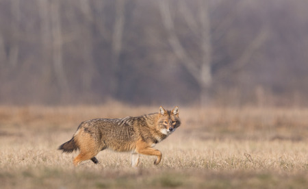 canis: Golden jackal (canis aureus) walking on meadow in front of forest in winter time and looking at camera. Region of south eastern Europe Stock Photo