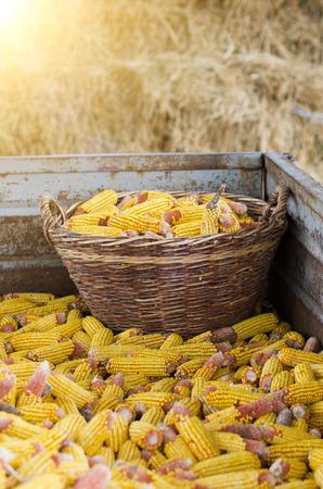 elote: Artículos de punto cesta llena de mazorca de maíz en el remolque lleno en las tierras agrícolas