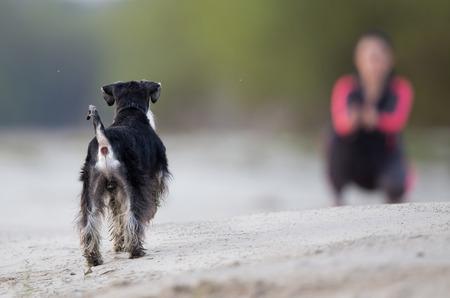 girl squatting: Cute dog miniature schnauzer walking on sandy coast. Girl squatting in background