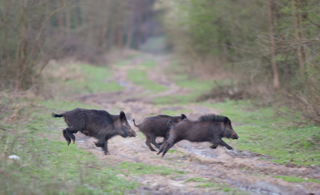 Three afraid wild boars running in the forest