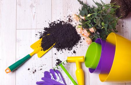 Draufsicht von eingemachten Rosen, von bunten Blumenplastiktöpfen und von Gartenarbeitwerkzeugen auf hellem Bretterboden. Pflanzkonzept Standard-Bild