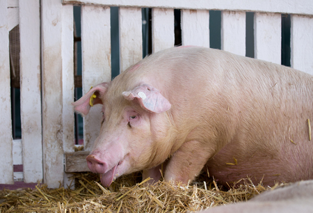 panting: Panting pig (Large white swine) on straw in pen with white wooden fence