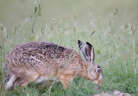 oryctolagus cuniculus: Wild rabbit sniffing in high grass in its natural habitat