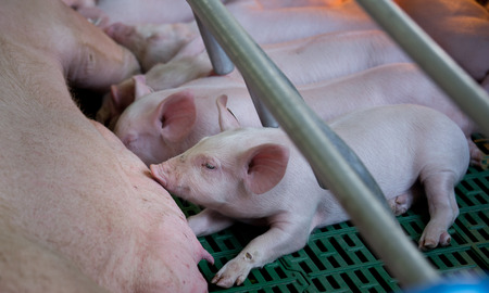 Cute piglets suckling sow on modern clean floor in enclosure on farm