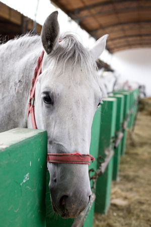 lipizzan horse: Closeup of a head of the white Lipizzaner horse in stabling