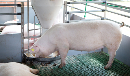 Landrace pig eating from plastic hog feeder on modern plastic flooring on ranch