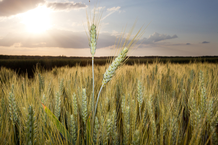 afield: Close up of wheat ear in the field at sunset Stock Photo