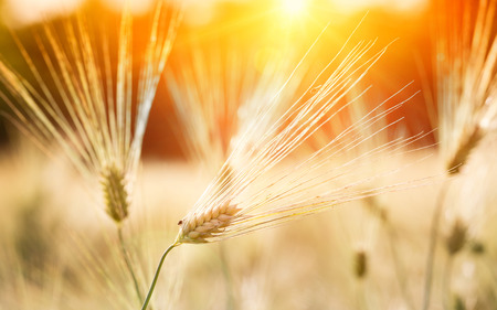 afield: Close up of barley ears in the field at sunset in early summer time Stock Photo