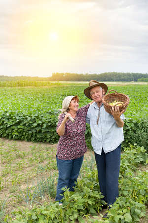 Happy senior couple peasants standing and hugging in the yellow bean field