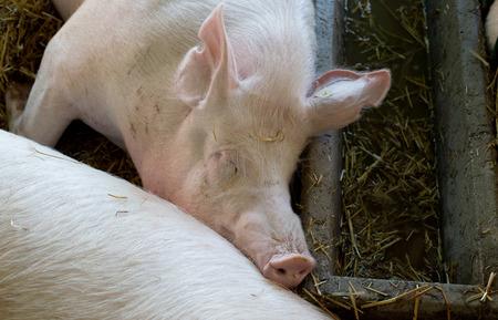 the drinker: Group of pigs (Large white swine) sleeping on straw beside drinker in the pen Stock Photo