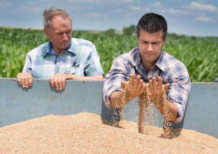 Two farmers looking at wheat grain in trailer after harvest 版權商用圖片