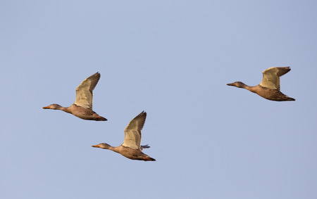 Small group of wild ducks flying against blue sky