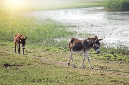 Two donkeys walking beside pond in summer time