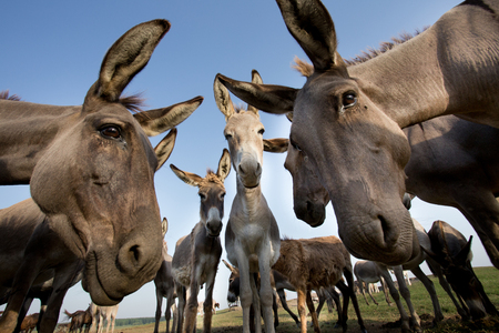 Funny image of group of curious donkeys staring in camera shooting with wide angle lens Archivio Fotografico