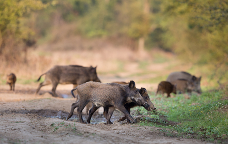multiple targets: Group of young wild boars walking and sniffing in forest. Animals in natural habitat