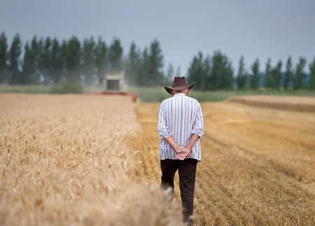 Rear view of senior man farmer with hat walking in ripe wheat field while combine harvester working in background Stok Fotoğraf