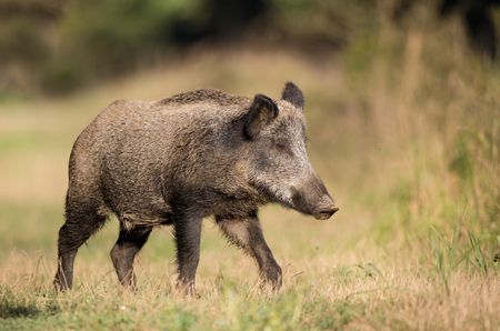 Wild boar (sus scrofa ferus) walking on meadow in front of forest in summer time. Wildlife animal in natural habitat Stock Photo