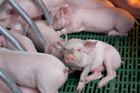 enclosures: Cute piglets suckling sow on modern clean floor in enclosure on farm Stock Photo