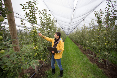 Attractive agronomist with laptop standing in apple orchard and checking fruit Stock Photo