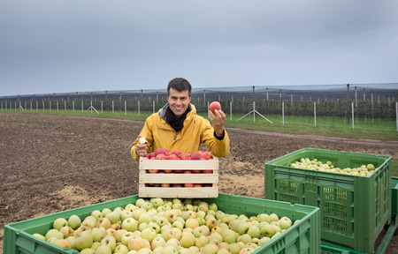 anti season: Attractive farmer standing beside crates with harvested apples with orchard in background