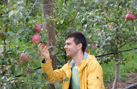 agronomist: Attractive agronomist squatting in apple orchard and looking at fruit