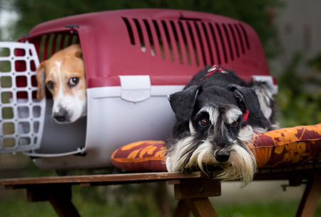 obedient: Two obedient dogs with plastic carrier on table Stock Photo