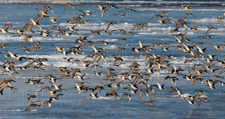 common target: Flock of wild ducks flying over frozen river. Wildlife in winter season