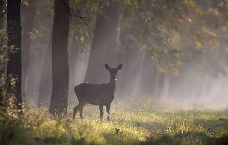 Hind (chevreuil femelle) debout dans la forêt le matin brumeux. Animaux sauvages dans l'habitat naturel