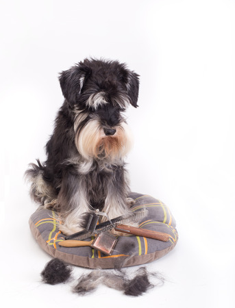 Cute miniature schnauzer sitting beside grooming and trimming equipment with his hair on table