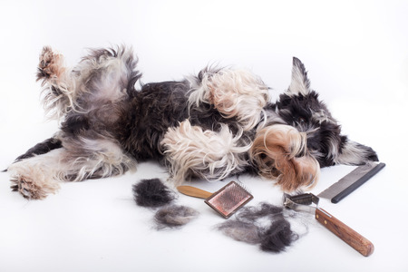 Cute miniature schnauzer lying beside grooming and trimming equipment with his hair on table