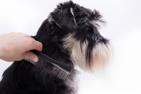 canine: Groomer combing long hair of cute dog. Profile of  Miniature schnauzer against white background Stock Photo