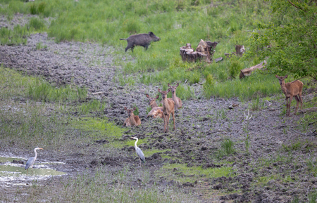Group of hinds resting near pond in forest. White herons and wild boar beside them. Wildlife in natural habitat Stock fotó