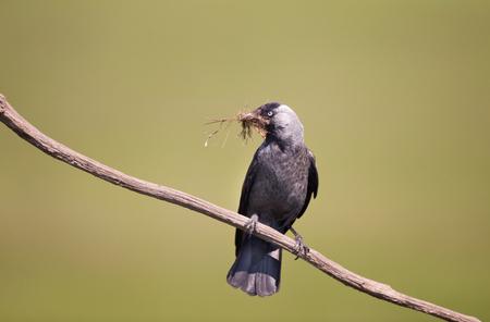Daw bird (Corvus monedula) standing on branch and holding twigs in beak. Green natural background