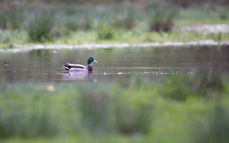 anas platyrhynchos: Wild duck (Anas platyrhynchos) swimming in water
