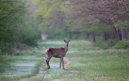 Hind (red deer female) standing in forest in springtime. Wildlife in natural habitat