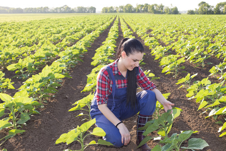 agronomist: Happy young farmer girl squatting in sunflower field and looking at leaves in early summertime Stock Photo