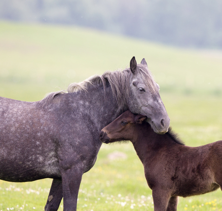 Mare cuddling her foal on meadow. Horse tender and loving moments