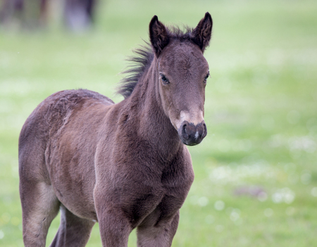 Portrait of gray foal standing on meadow and looking at camera