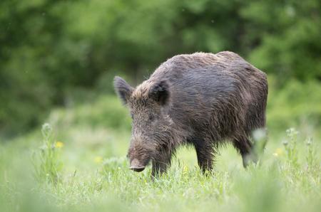 멧돼지 (sus scrofa ferus) 숲의 앞에 초원에 높은 잔디에서 산책. 자연 서식지의 야생 동물 스톡 콘텐츠