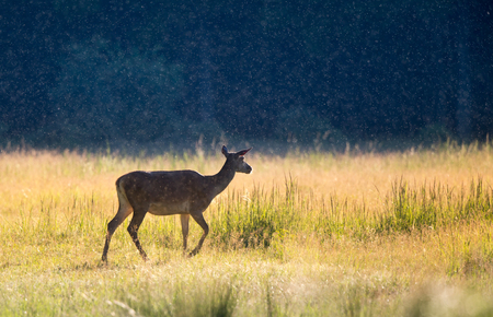 Alone hind (red deer female) walking on meadow at sunset in summer time with forest in background. Wildlife in natural habitat
