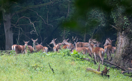 Large group of red deers and hinds walking in forest. Wildlife in natural habitat Stock Photo