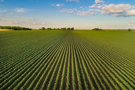Mooi landbouwlandschap van groene sojaboonrijen op open gebied met blauwe hemel en witte wolken