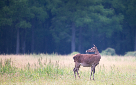 cervus: Alone hind (red deer female) standing on meadow in summertime with forest in background and looking behind. Wildlife in natural habitat Stock Photo