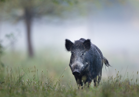 Wild boar (sus scrofa ferus) walking in forest on foggy morning and looking at camera. Wildlife in natural habitat