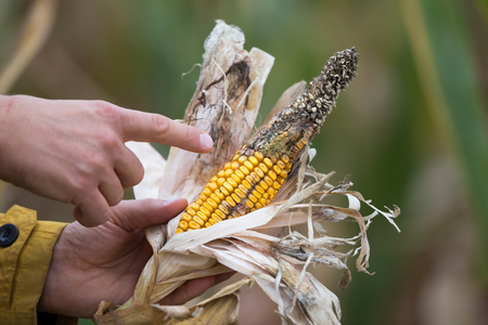 Farmer holding corn cob with disease in field. Bad climate influence on crops