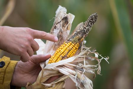 Paglia di granturco della tenuta dell'agricoltore con la malattia nel campo. Cattiva influenza del clima sulle colture Archivio Fotografico - 85647207