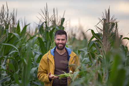 Young attractive man with beard checking corn cobs in field in late summer