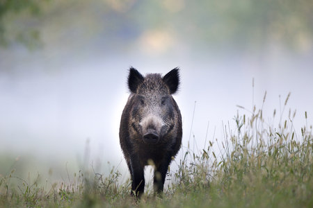 Wild boar walking on meadow on foggy morning and looking at camera. Wildlife in natural habitat