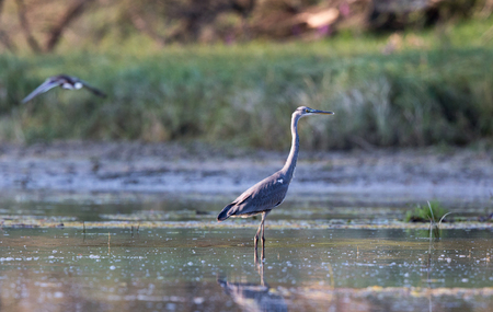 Gray heron standing in shallow water and looking around for pray. Wildlife in natural habitat